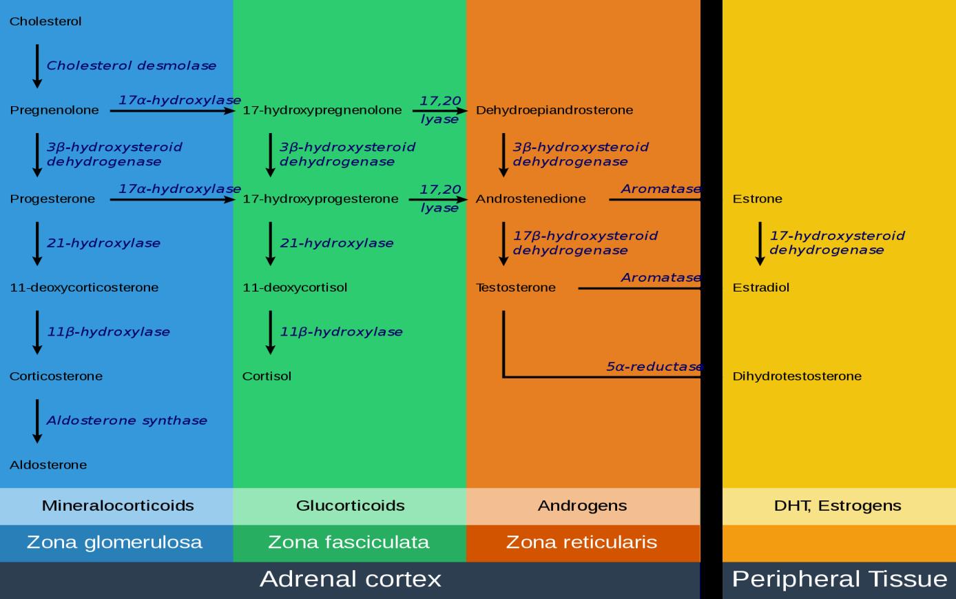 Ścieżka steroidogenezy