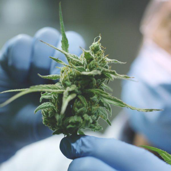 Działanie marihuany