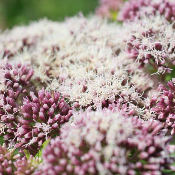 kwiat waleriany